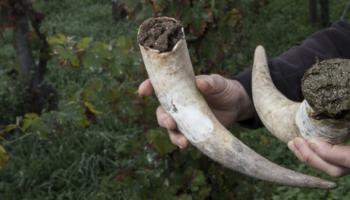Shutterstock / De FreeProd33 - Corne de vache remplie avec de la bouse qui stimulerait la vie du sol et améliorerait la résistance des cultures