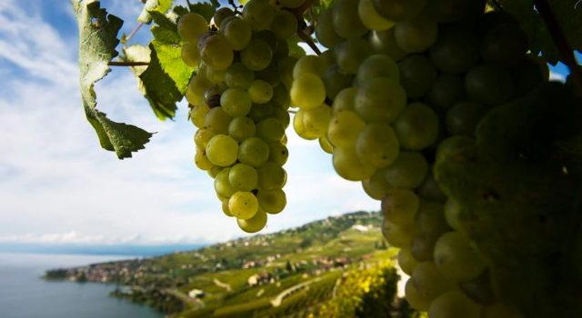 Ein Blick ueber die Weinberge von Lavaux und den Genfersee. Bild : Keystone