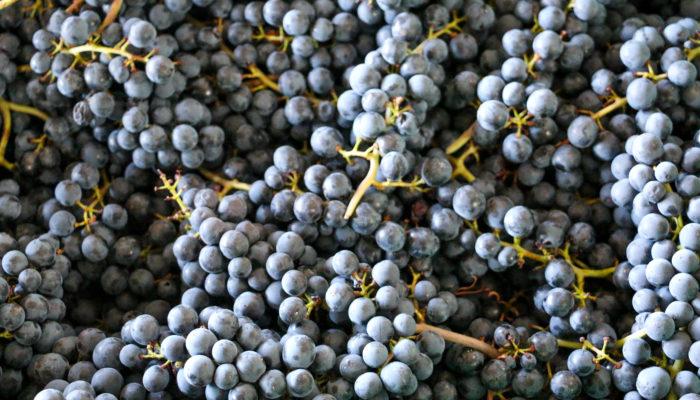 Paccot - Domaine La Colombe - Pinot noir - vendanges 2020